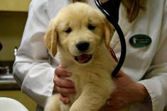 Golden Retriever Puppies NC | NC Golden Retrievers by